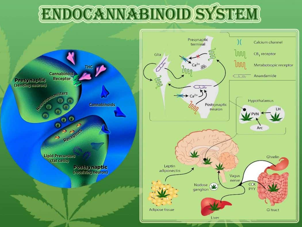 The Endocannabinoid System, Understanding the Medicinal Side of Marijuana
